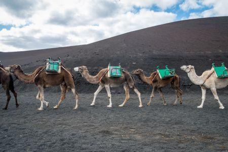 17 - Camels, Lanzarote (2017)
